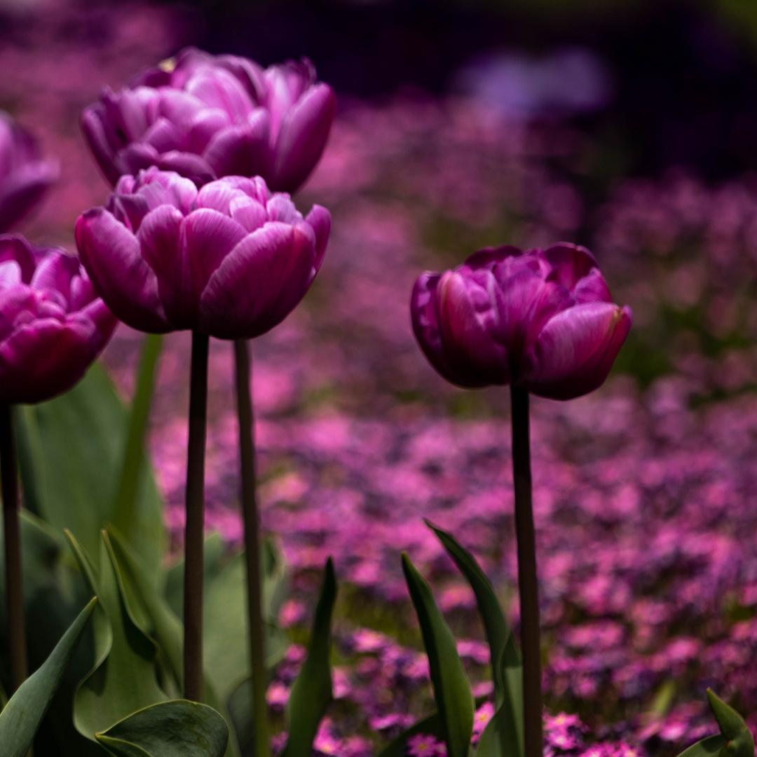 Tulpen-Zauber
