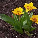 Tulpen zu Ostern!