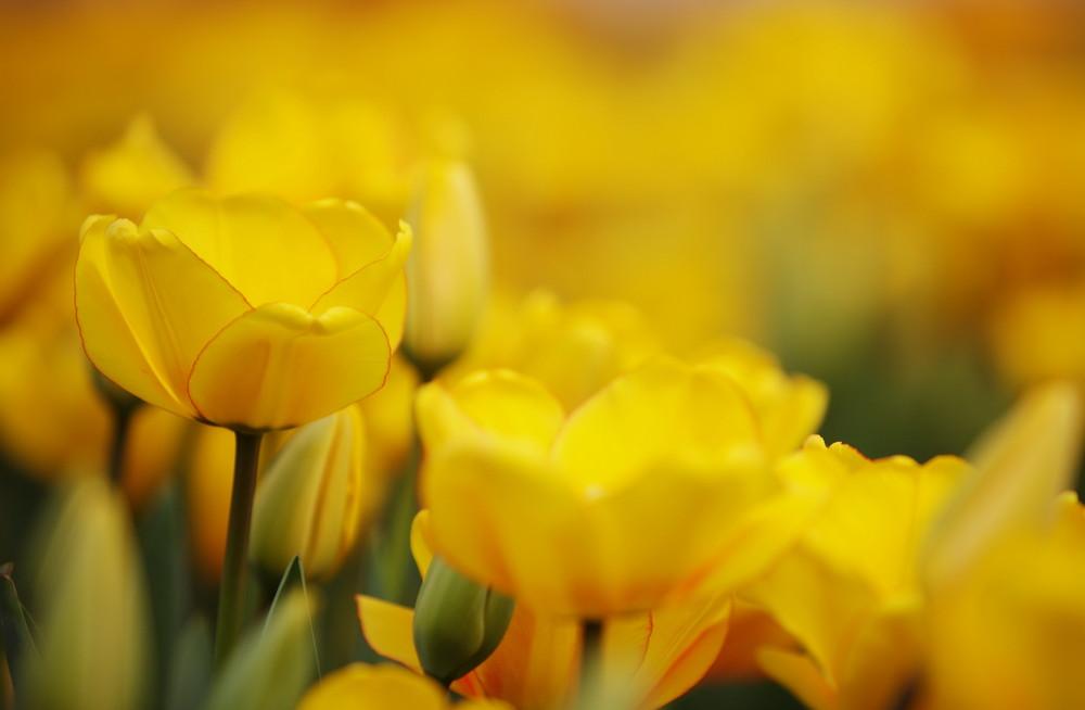 Tulpen#3