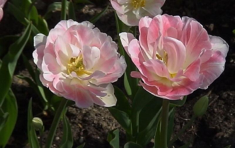 tulpen7