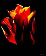 TulpenArt