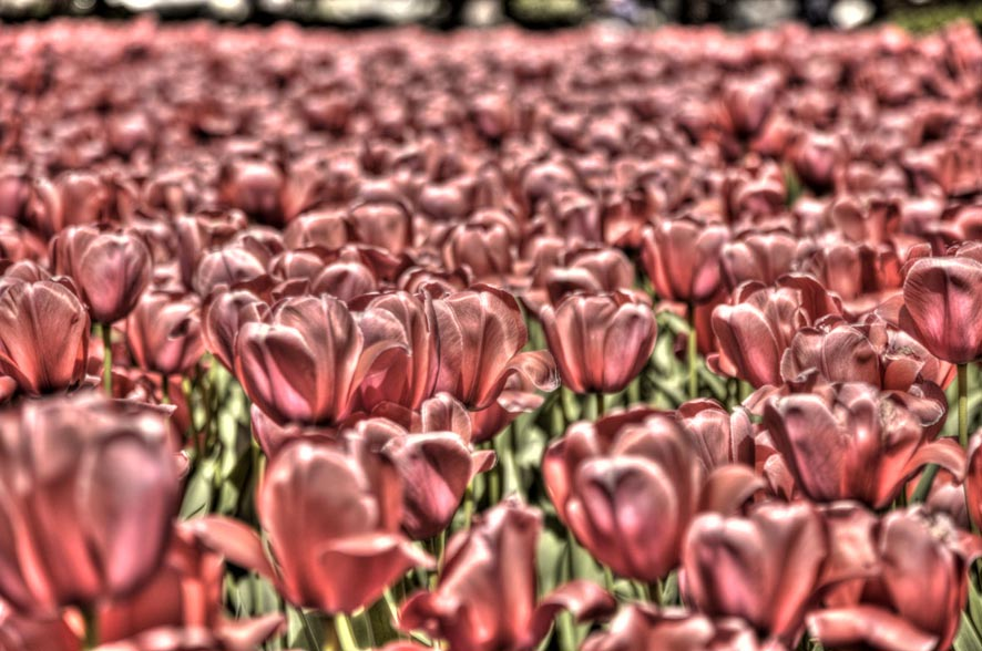 tulpenbeet hdr