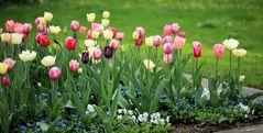 Tulpenbeet im Botanischen Garten Krefeld