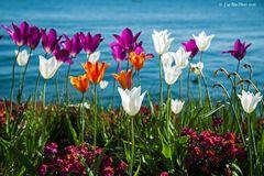 Tulpenbeet in Überlingen