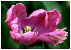 Tulpenblüte...