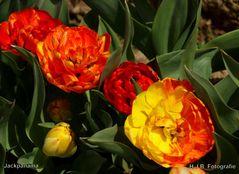 Tulpenblüte in Grevenbroich