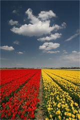 Tulpenblüte in Südholland