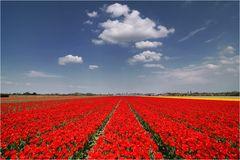 Tulpenblüte in Südholland (II)