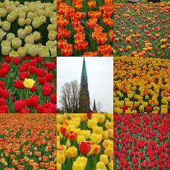 Tulpenblüte, nicht in Holland, diesmal in Schleswig