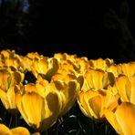 Tulpenblüten von der Sonne verwöhnt.
