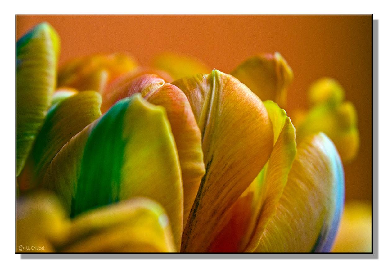 tulpenfarben
