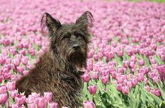 Tulpenfee!