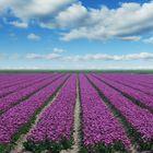 Tulpenfeld auf Texel