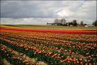 Tulpenfelder (1)