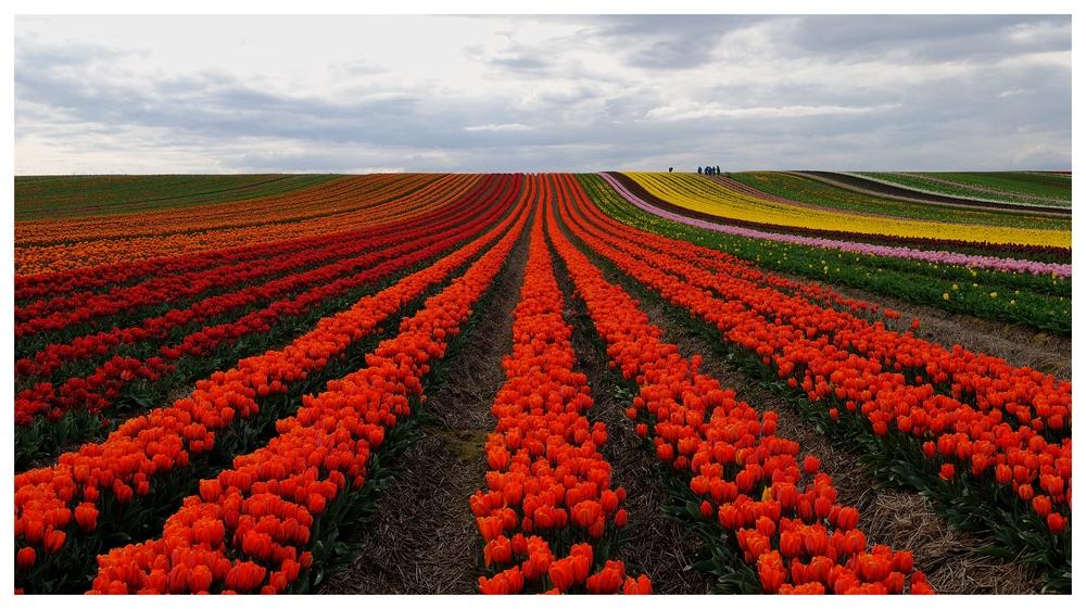Tulpenfelder (2)