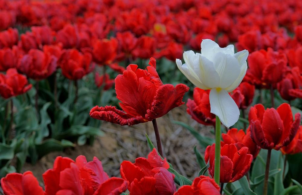 Tulpenfelder (4)