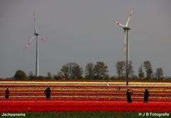 Tulpenfelder bei Grevenbroich