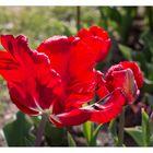 Tulpenfeuer