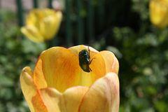 Tulpenfreund auf Klettertour