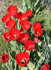Tulpengroßfamilie