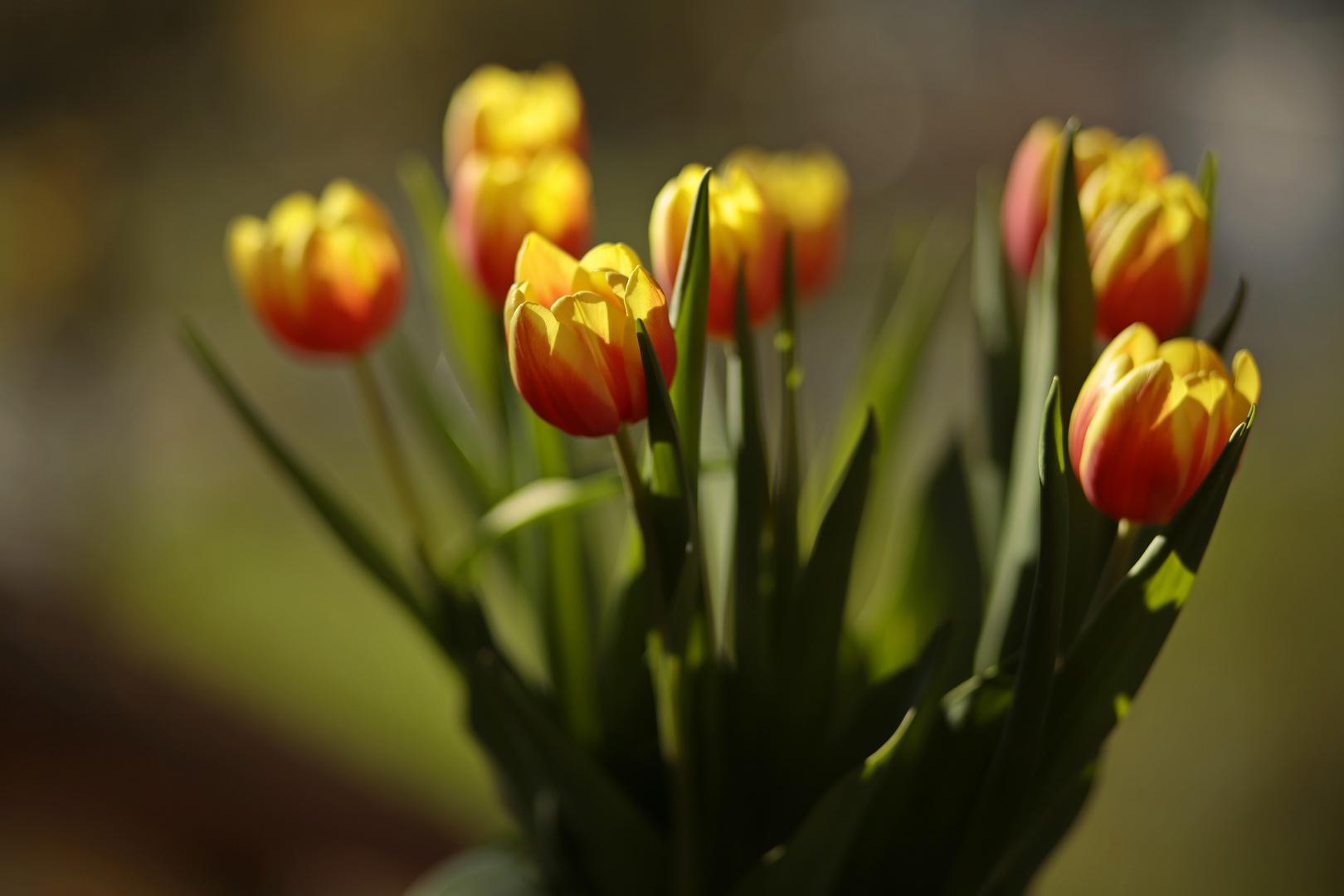 Tulpen_im Gegenlicht