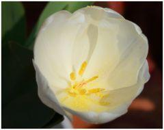 Tulpenkelch in weiß