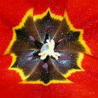 Tulpenkönig