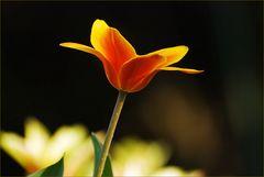 Tulpenleuchten