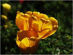 ... Tulpenleuchten ...