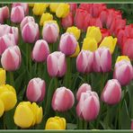 Tulpenmeer (2)