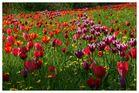 Tulpenmeer