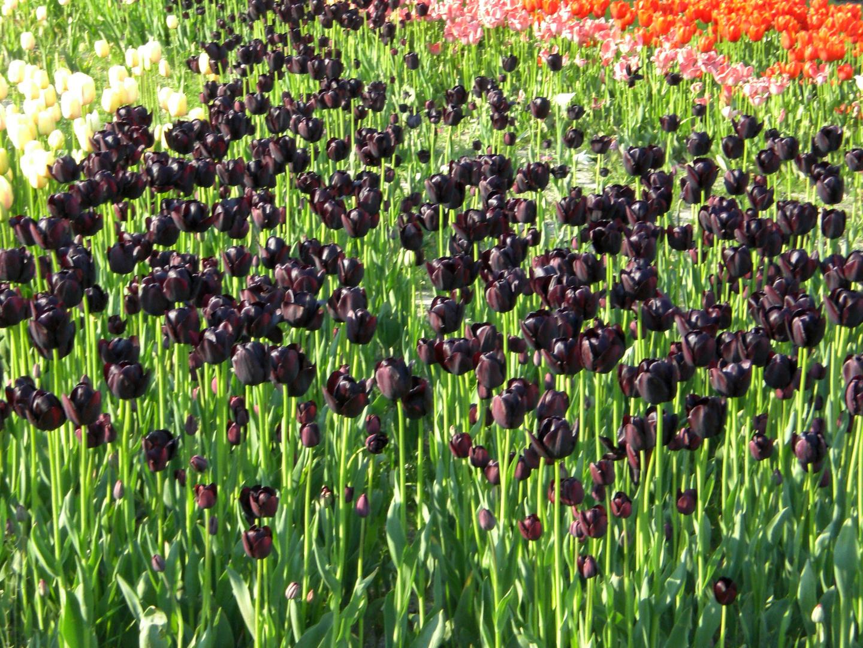 Tulpenmeer im Westfalenpark Dortmund (Mai 2008)
