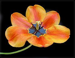 Tulpenparade 1