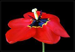 Tulpenparade 3