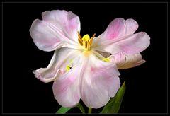 Tulpenparade 4