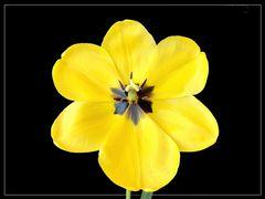 Tulpenparade 5