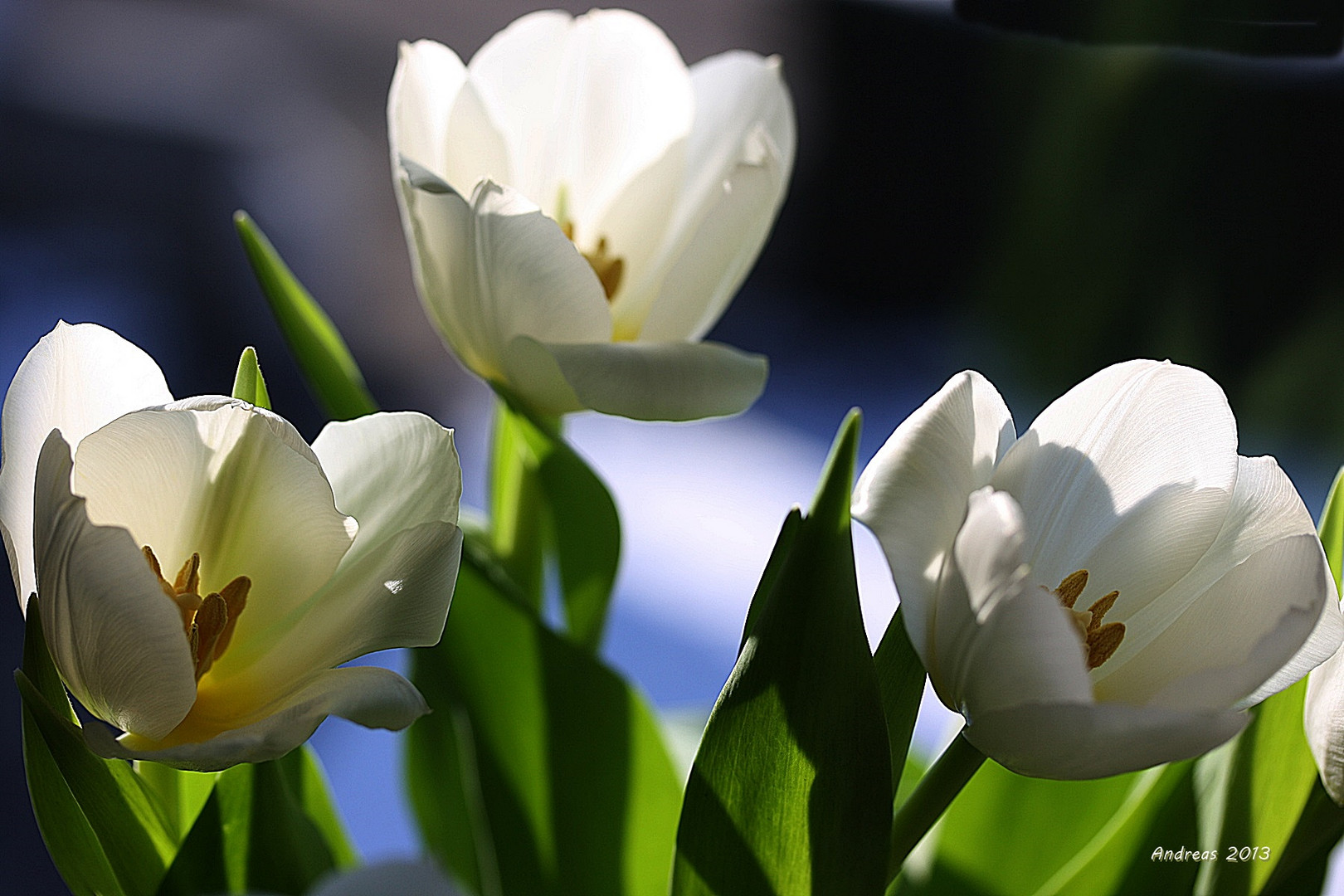 TulpenPhantasie 1