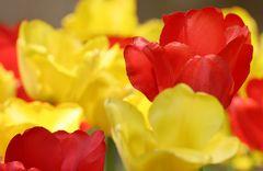 ... Tulpenplümchen