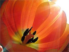 Tulpenpollen