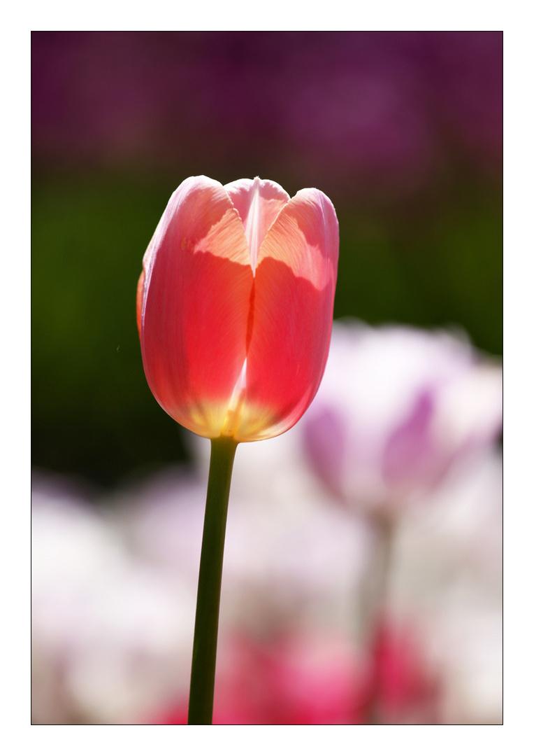Tulpenportrait...