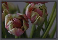 Tulpenpracht in der Entfaltung