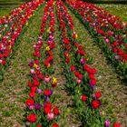 Tulpenreihen