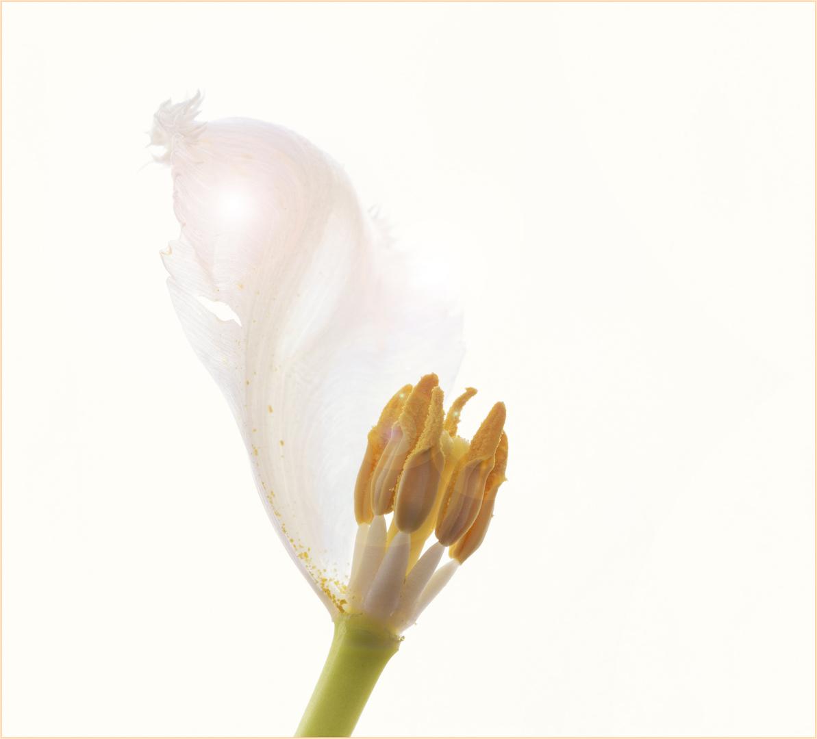 Tulpenrest