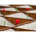 Tulpenschach