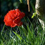 Tulpenschönheit...