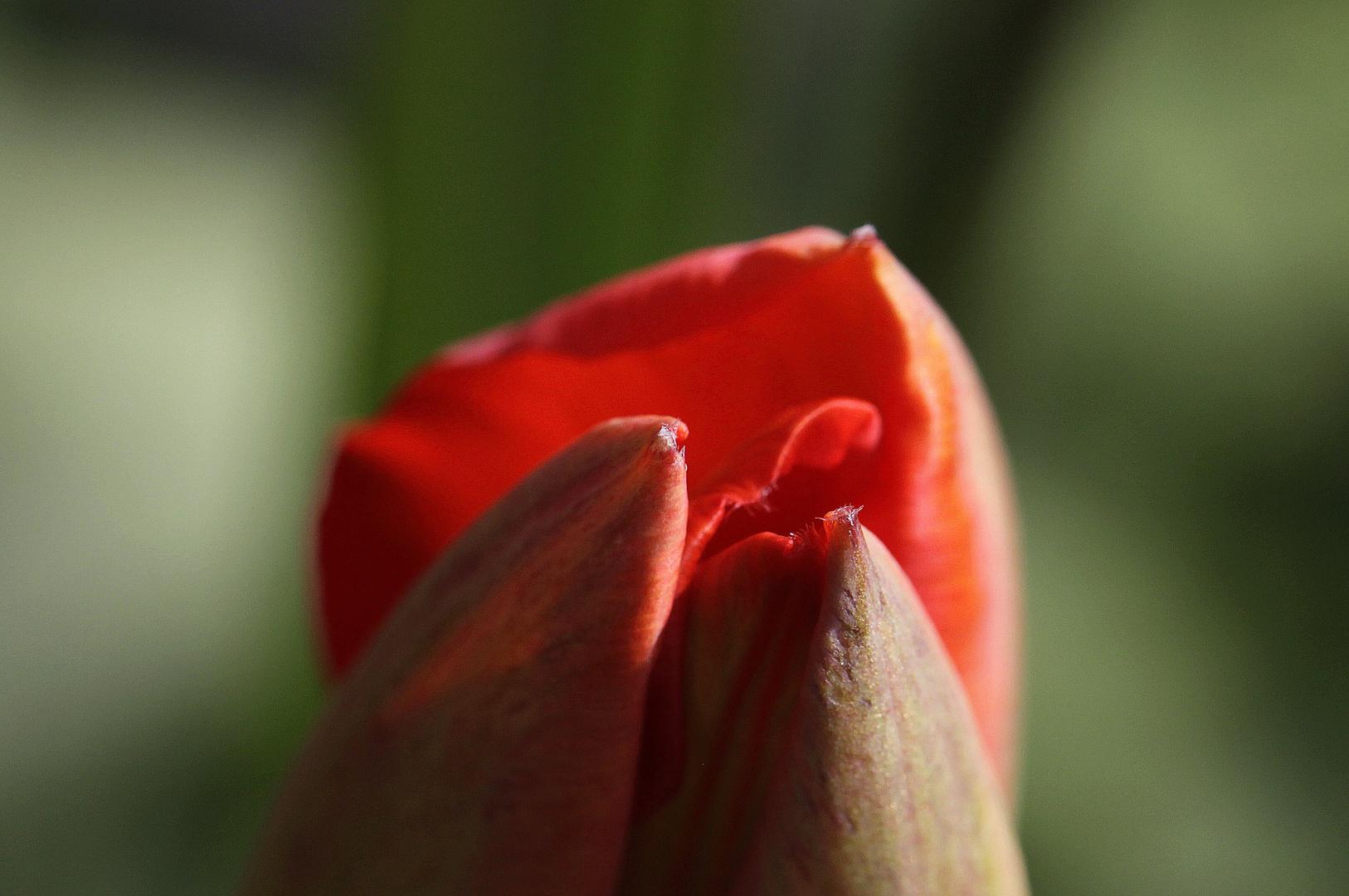tulpenspitze