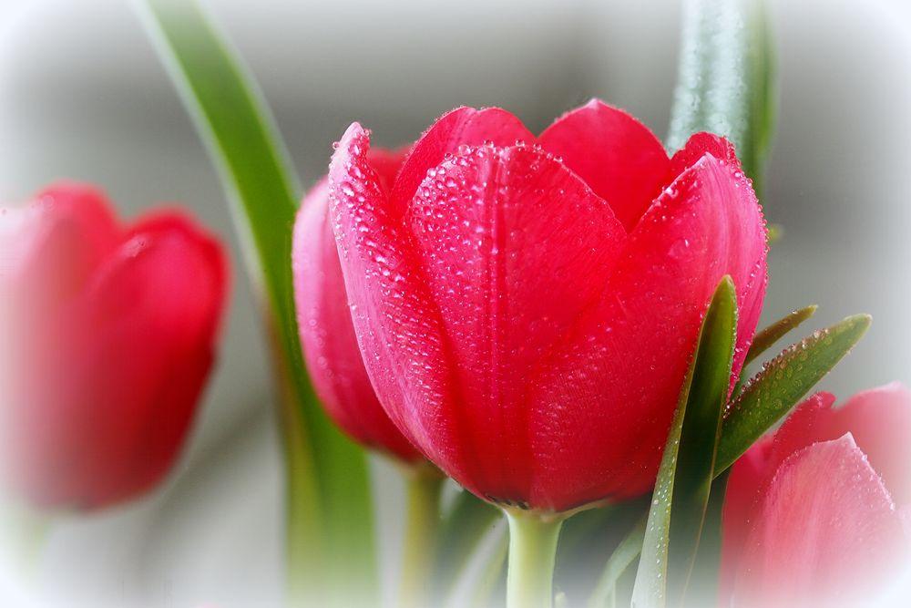 Tulpenstack