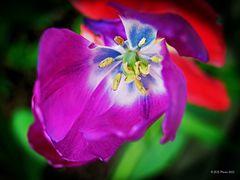 Tulpenstempel im Garten