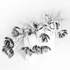 Tulpen_sw