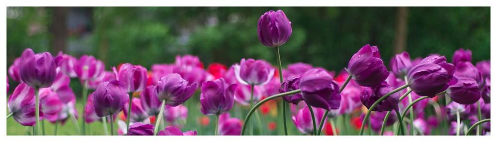 Tulpenversammlung